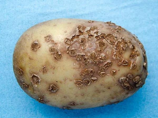 Повреждения клубней картофеля при порошистой парше. Фото с сайта floweryvale.ru
