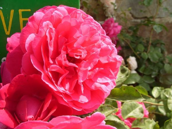 Роза сорт Tess of the D'Urbervilles
