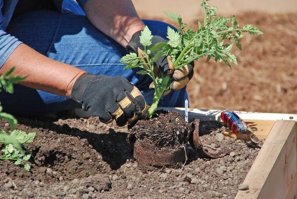 Высадка рассады томата в открытый грунт, фото с сайта monroviaweekly.com