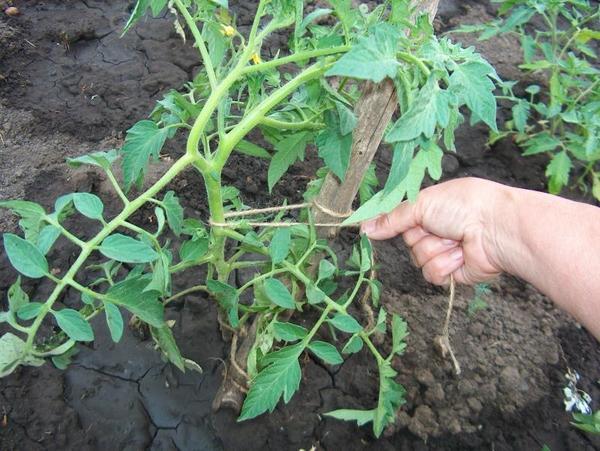 Кусты томатов нуждаются в подвязывании, фото с сайта moi-ogorod.ru