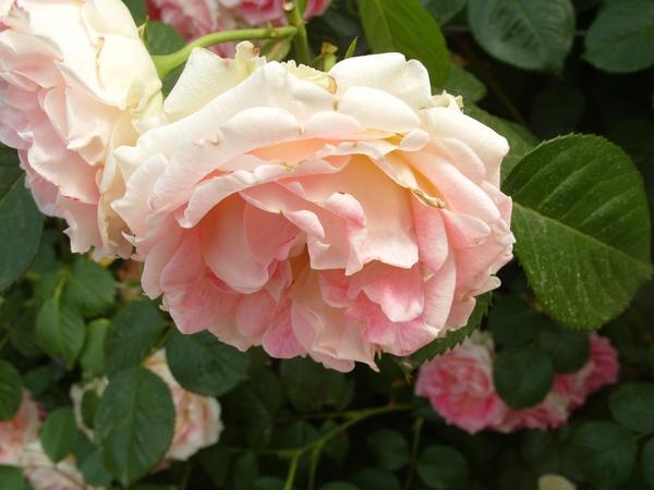 Роза сорт Cesar