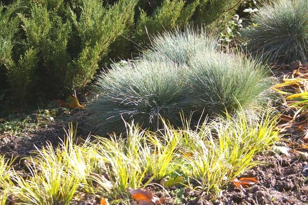 Овсяницы - растения-статисты