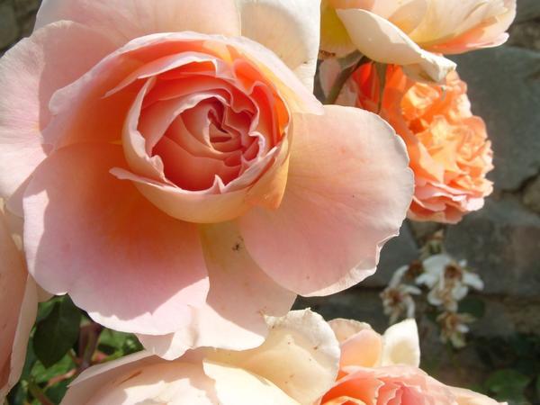 Роза сорт Abraham Darby