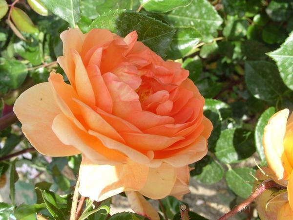 Роза сорт Pat Austin