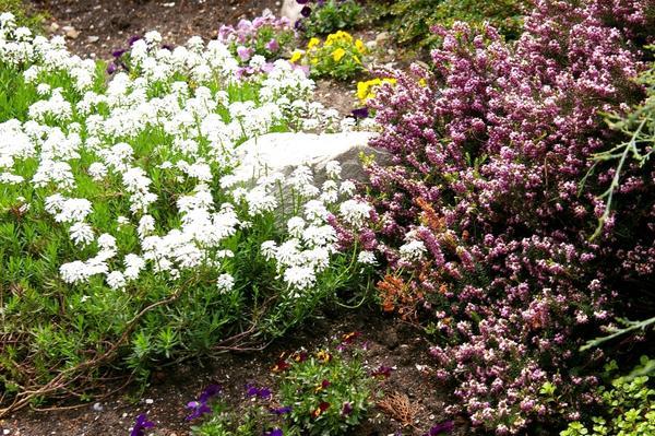 Иберис вечнозеленый и эрика травяная - прекрасный дуэт