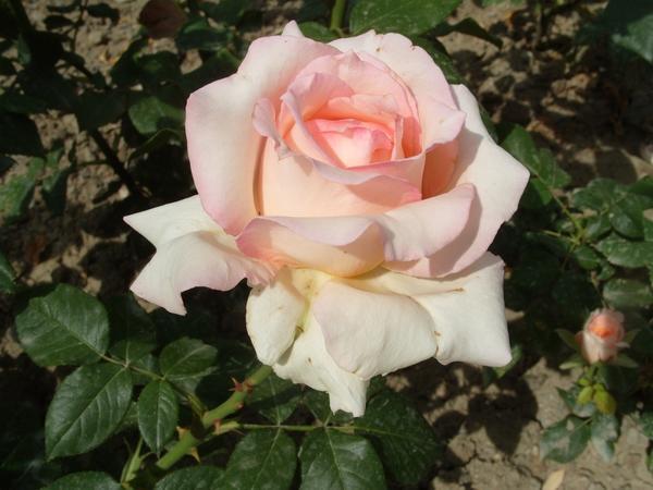 Роза сорт Марина Стевен