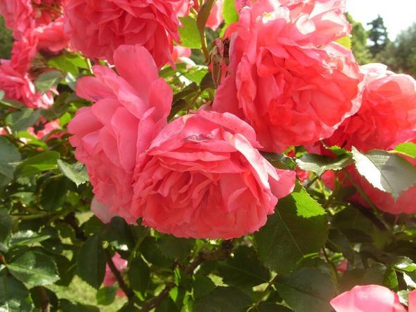 Роза сорт Rosarium Uetersen