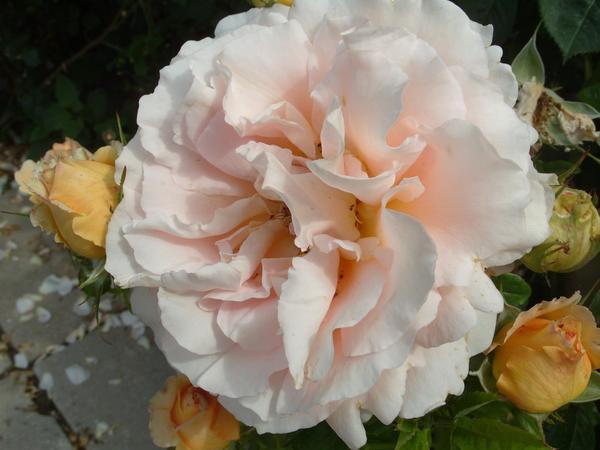 Роза сорт Polka 91