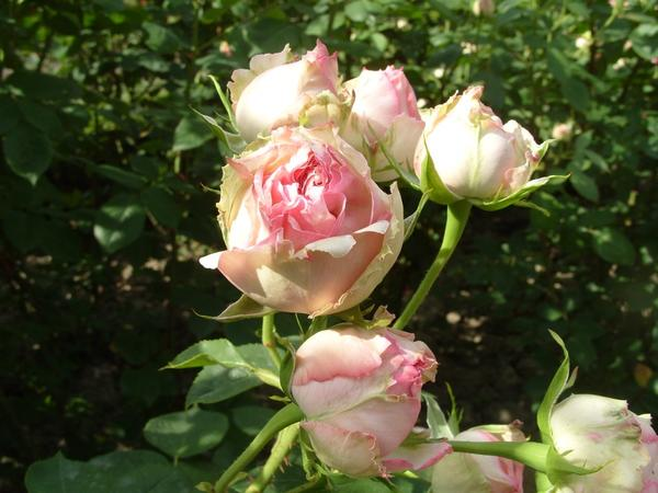 Роза сорт Джим