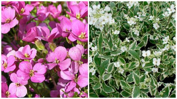Резуха кавказская сорт Rosabella, фото с сайта About-garden.com; сорт Variegata, фото с сайта greenspravka.ru