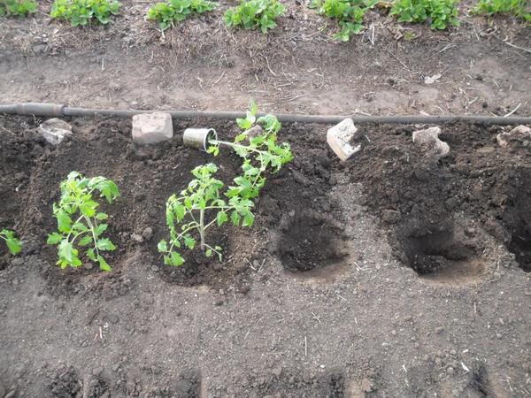 Высаживать рассаду на грядку нужно сразу после того, как вынули ее из стаканчиков, фото с сайта teplica-exp.ru