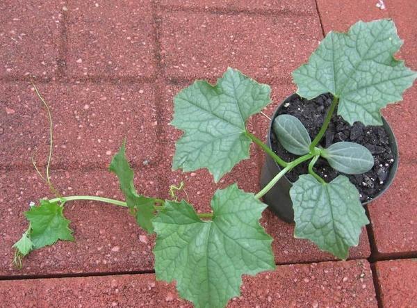 После формирования пяти-шести настоящих листочков у люффы появляются усики. Фото с сайта www.luffa.info