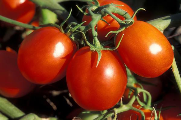 Томат сорт Ермак, фото с сайта www.zelenmir31.ru