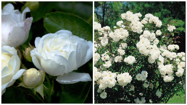 Полиантовая роза сорт Yvonne Rabier, фото с сайтов PPRuNe и Roses Guillo