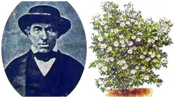 Жан Батист Гийо, фото с сайта pobedpix.com, старинный рисунок полиантовых роз, фото с сайта 79.sadovodus.ru