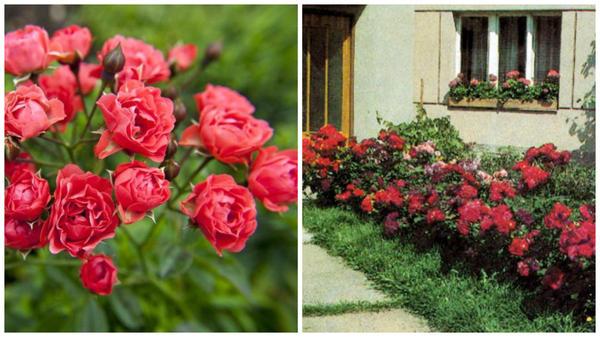 Полиантовая роза сорт Orange Triumpf, фото с сайта nashzeleniymir.ru и полиантовые розы в рядовой посадке у дома, фото сайта master-room.ru
