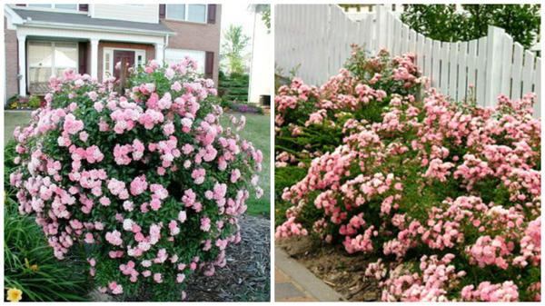 Полиантовая роза сорт The Fairy солитер, фото с сайта Pinterest и в рядовой посадке у забора, фото с сайта Landscape-Project