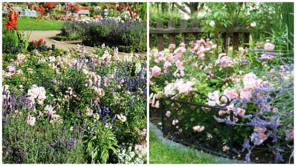Полиантовая роза сорт The Fairy в миксбордерах. Фото с сайтов Alamy и foto.mein-schoener-garten.de