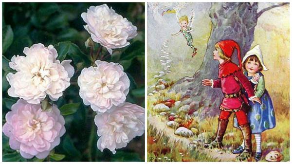 Роза Fairyland, фото с сайта Schmid Gartenpflanzen и в сказочной стране, рисунок с сайта Pinterest