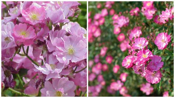 Полиантовая роза сорт Yesterday. Фото с сайтов www.pinterest.com и Wikimedia Commons
