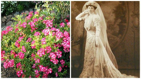 Полиантовая роза сорт 'Marjorie Fair' и одна из богатейших дам прошлого века Марджори Мерривезер Пост. Фото с сайта LiveInternet