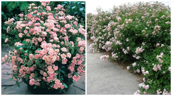Полиантовая роза сорт The Fairy в большом горшке, фото с сайта J. Parker's и в живой изгороди, фото с сайта Petals from the Past