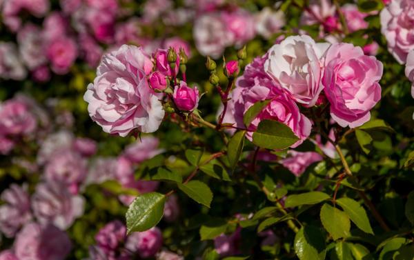 Полиантовые розы поистине роскошны