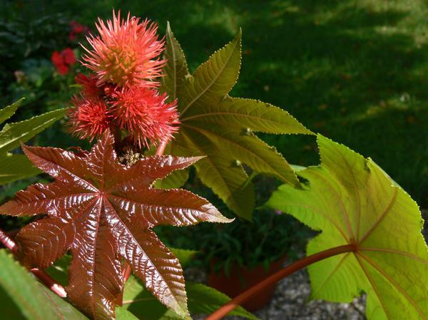 Клещевина довольно неприхотлива, но лучше всего ее выращивать на солнечных участках