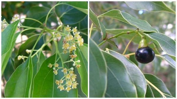 Коричник камфорный - цветение и плод. Фото с сайта keys.lucidcentral.org