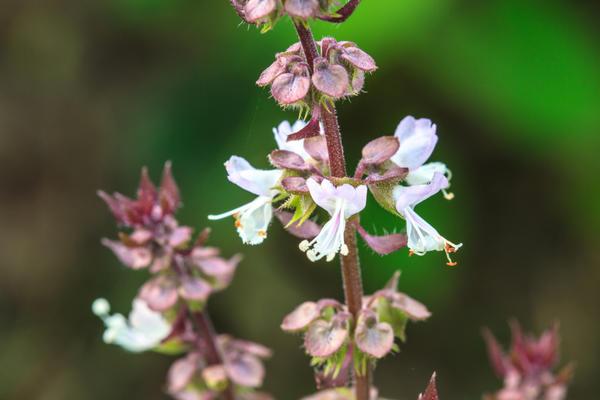 К началу цветения в листьях базилика накапливается максимальное количество эфирного масла