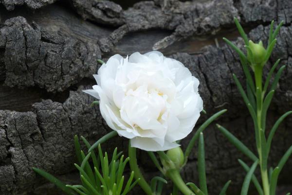 Портулак сорт Белоцветковый