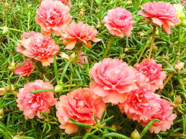 Для черенкования выберите самые красивые маточные растения