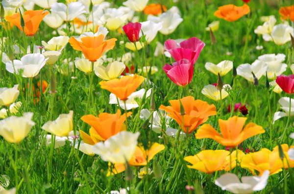 Селекционеры постарались на славу, выведя множество гибридов и сортов с самыми разнообразными расцветками
