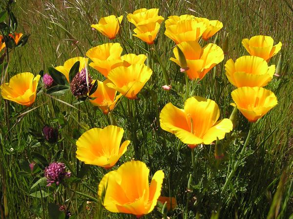Выращивать эшшольцию можно практически на любых почвах