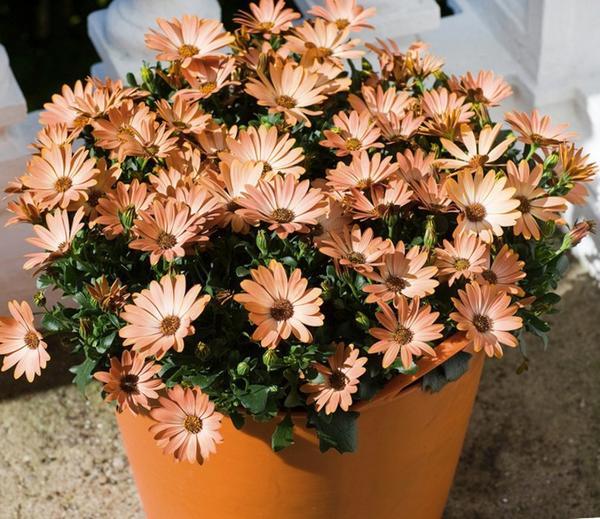 Диморфотека прекрасно растет в горшках и контейнерах. Фото с сайта s.ecrater.com