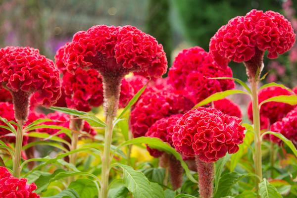 цветок гребешок выращивание из семян