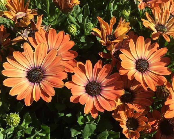Диморфотека выемчатая. Фото с сайта www.gardensonline.com.au