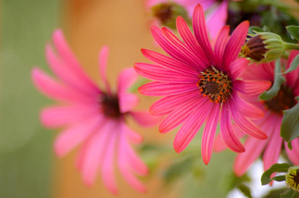 Соцветия диморфотеки раскрываются лишь на солнышке