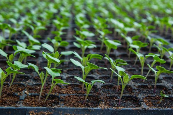 Выращивание рассады цветной капусты в отдельных горшочках