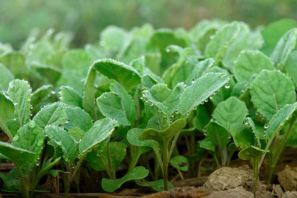 Как сажают цветную капусту на рассаду 69