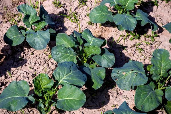 Цветную капусту необходимо регулярно подкармливать