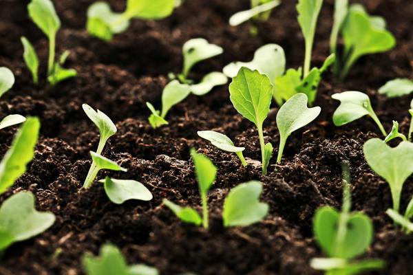 Сроки посева капусты на рассаду можно высчитать самостоятельно
