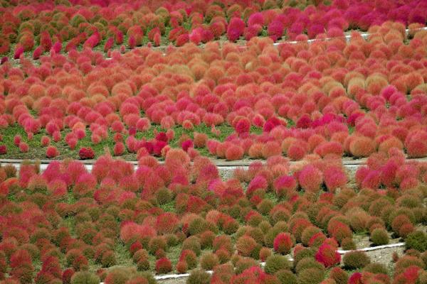 Кохия волосолистная осенью меняет окраску листьев с зеленого на оранжевый или красно-карминный