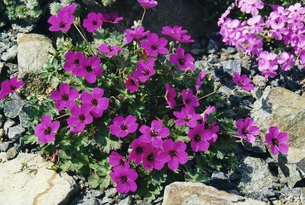 Герань сизая subsp. subcaulescens. Фото с сайта www.florini.ru