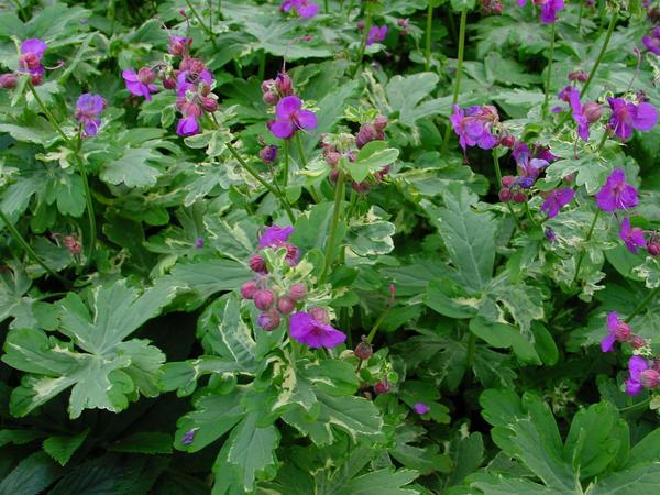 Герань крупнокорневищная Variegatum. Фото с сайта plantlust.com