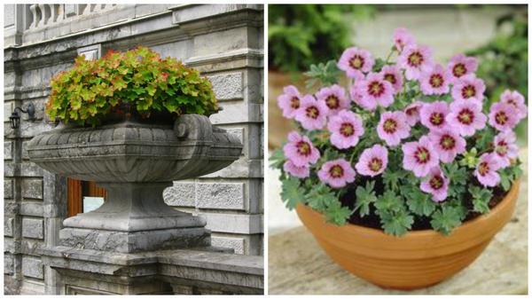 Герань крупнокорневищная в садовой вазе и г. пепельная в горшке. Фото с сайта ru.pinterest.com