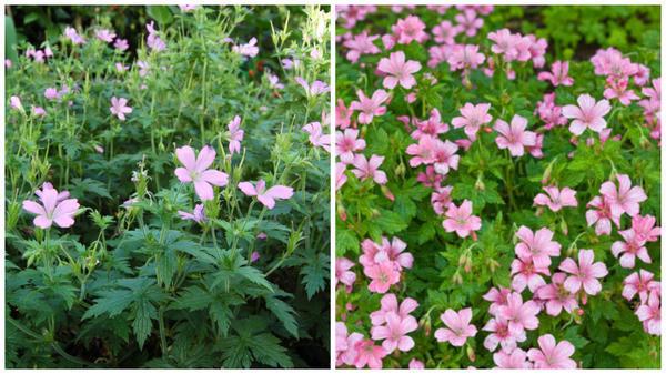 Герань Эндресса 'Wargrave Pink'. Фото с сайта davisla.wordpress.com. Герань Эндресса, цветки крупным планом. Фото с сайта www.gardenia.net