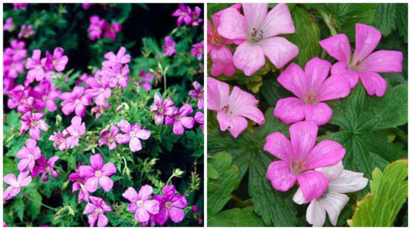 Герань Эндресса, общий вид. Фото с сайта www.rhs.org.uk. Герань Эндресса, цветки крупным планом. Фото с сайта www.plant-world-seeds.com
