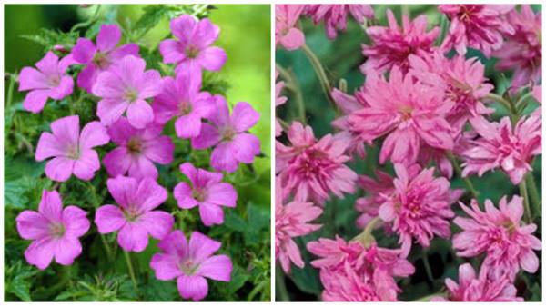Герань оксфорская 'Rose Clair'. Фото с сайта www.99roots.com. Герань оксфорская 'Southcombe Double'. Фото с сайта www.vasteplant.be