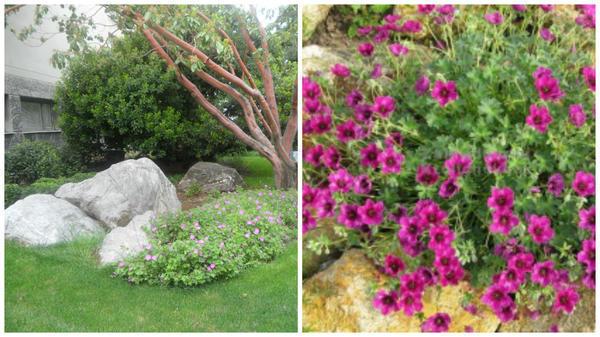 Герань кроваво-красная в небольшом рокарии и г. пепельная среди камней. Фото с сайта www.about-garden.com